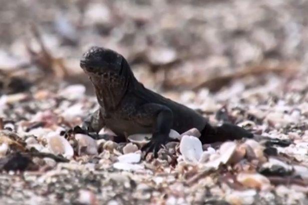 baby-iguana