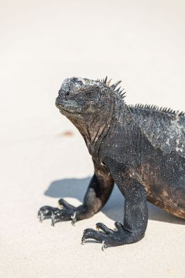 iguana_marina_amblyrhynchus_cristatus_las_bachas_isla_santa_cruz_islas_galapagos_ecuador_2015-07-23_dd_27