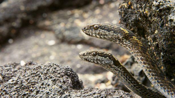 racer-snakes